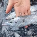 舟山带鱼新鲜冷冻带鱼